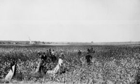 Picking cotton in Oklahoma in the 1890s